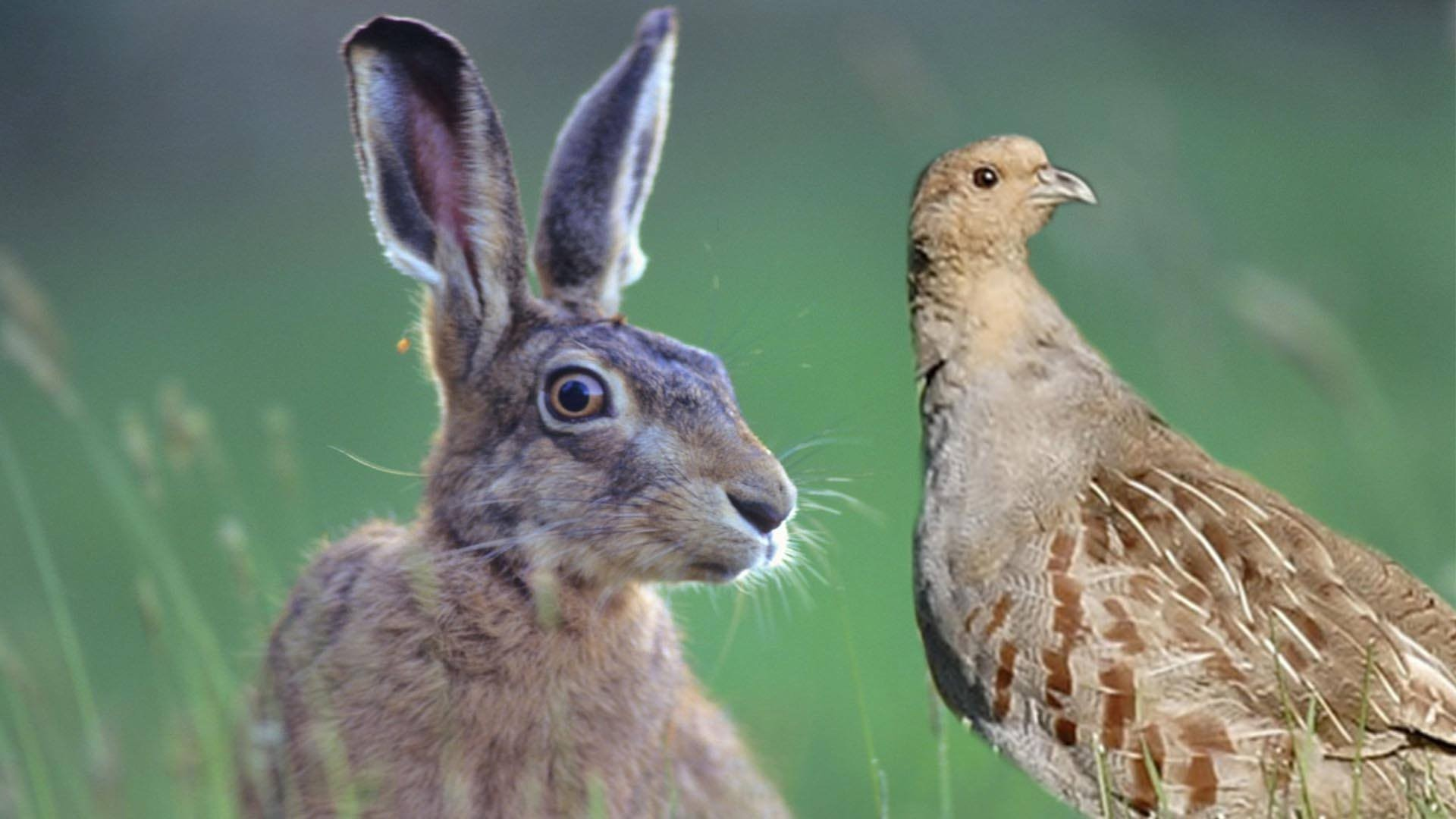 perdrix et lièvre (Photo : © Josée Ouellet)
